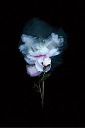 Peony Rose #3