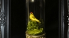 Natural Curiosities - Red Crowned Parakeet
