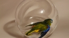 Parakeet in Glass